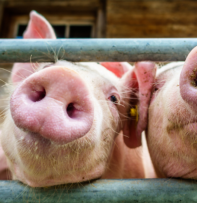 photo of two pigs in a farm pen
