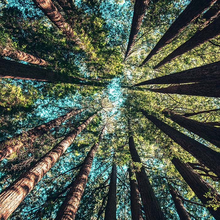 Shot upwards, looking up the trunks of a circle of trees at the sky