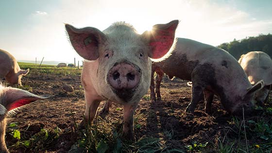 Small pig with muddy snout in field
